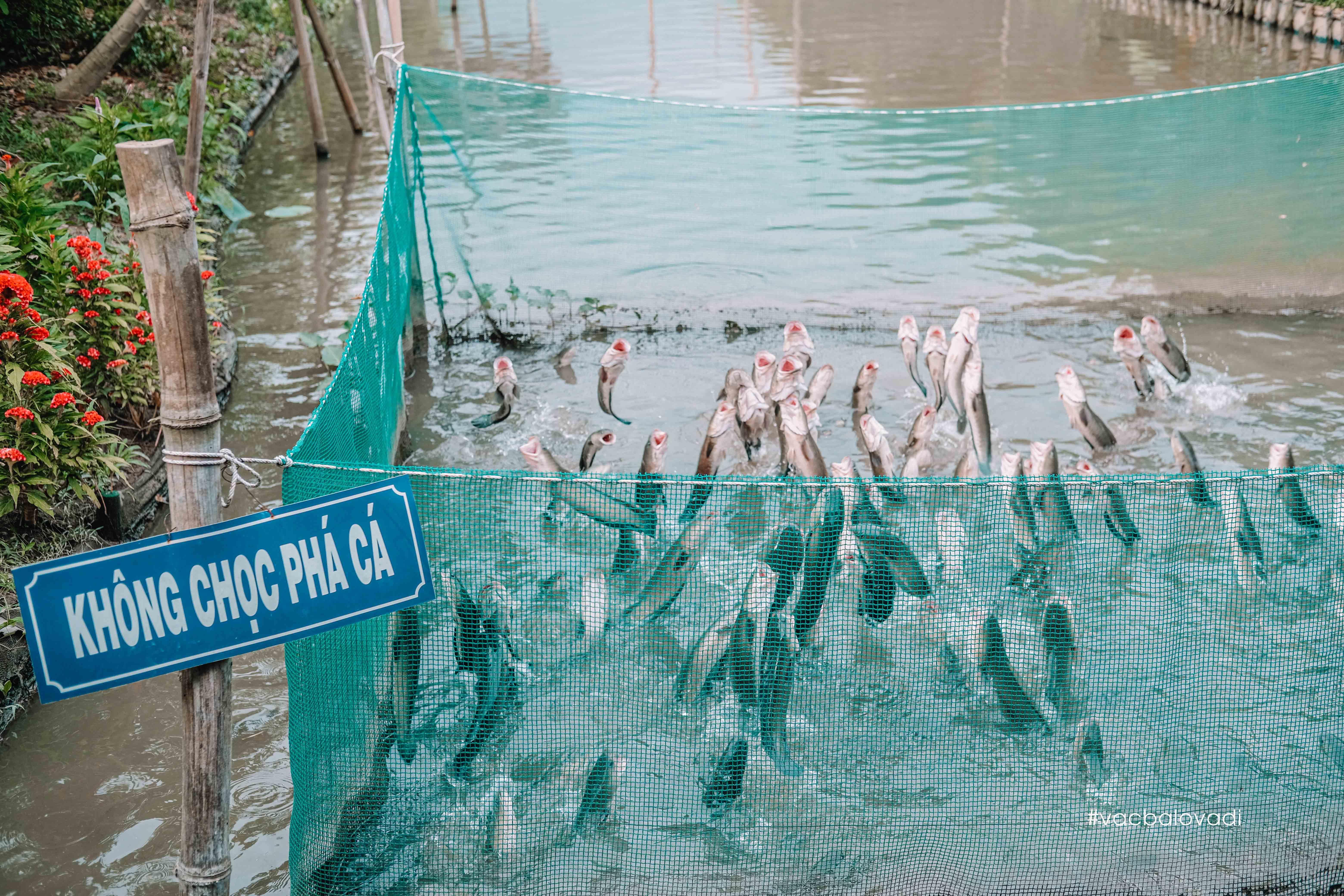 Cá Lóc bay ở Cồn Sơn