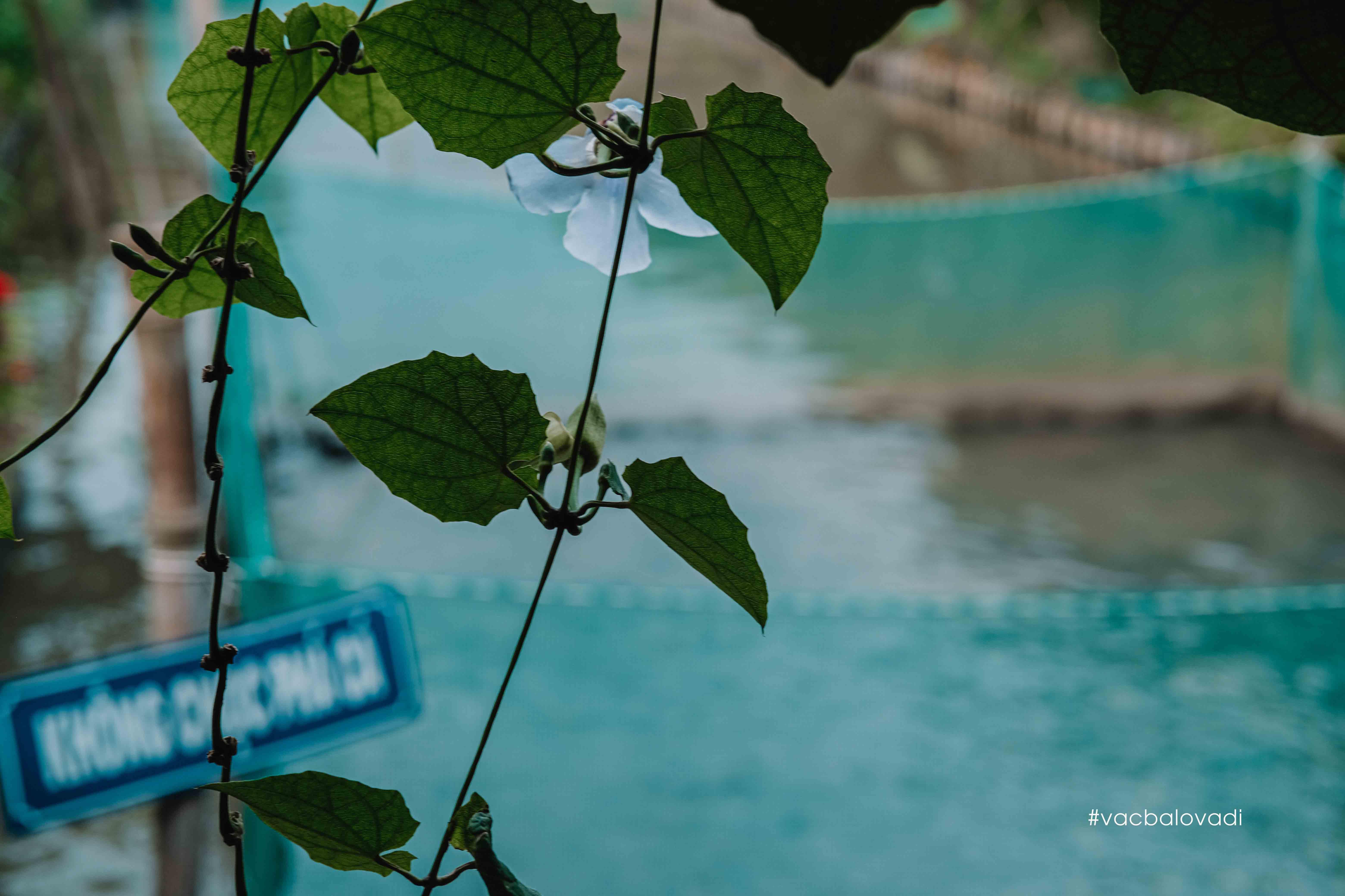 Cá Lóc bay ở Cồn Sơn #Vacbalovadi